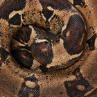 The life cycle of a boa constrictor