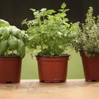 How to grow herbs outside