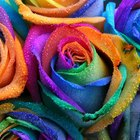 How to grow a rainbow rose