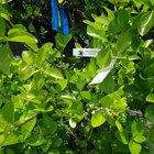 How to grow euonymus shrubs