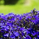How to cut back lobelia