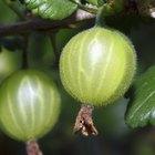 How to care for a gooseberry bush