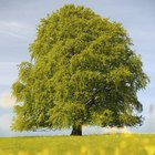 How to plant a beech tree