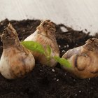 How long does it take for a lily bulb to grow once planted?
