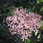 How to care for a Sambucus Black Lace plant