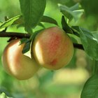 How to grow a peach tree using a pit
