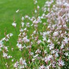When to prune gaura