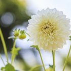 When to plant dahlia tubers?