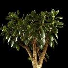 How to care for Money Plants (Crassula ovata)