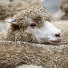 How to dye merino wool