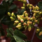 How to grow pistachio nuts