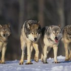 Differences between wolves and German Shepherds