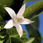Signs & symptoms of an allergy to orange trees in bloom