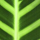 What is the proper care of a calathea plant?