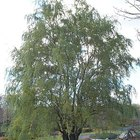How to grow a curly willow tree