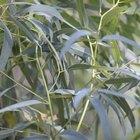 Dwarf eucalyptus trees