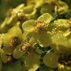 When do you prune potentilla?