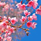 How long does it take a cherry tree to mature?