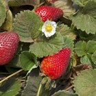 What causes strawberry leaves to turn brown?