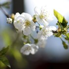 When to prune a flowering cherry tree