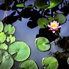 How to plant pond plants without soil