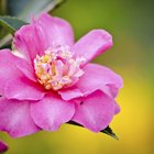 How to transplant a camellia plant