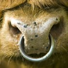 Why do bulls have rings in their noses?