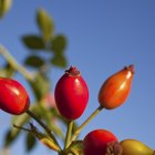 How to prune rose hips
