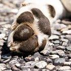 Sintomas de pata quebrada em cães