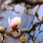 Cómo cultivar un árbol de Magnolia estrella (Magnolia stellata)