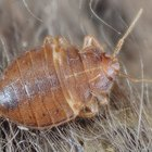 How to identify carpet bugs and maggots