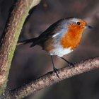 Life cycle of the European Robin