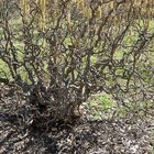 How to care for and transplant a corkscrew hazel tree