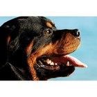 Datos curiosos sobre los perros rottweiler