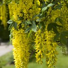 How to prune laburnum trees