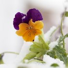 Can pansies survive frost?