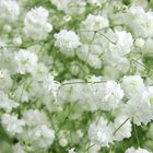 How to grow gypsophila