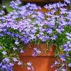 Is the lobelia plant an annual or a perennial?