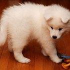 Cómo cuidar de tu cachorro samoyedo