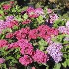 When to plant hydrangeas?