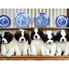 Características de los perros San Bernardo
