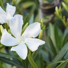 How to care for an oleander plant with brown leaves