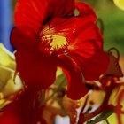 When do nasturtium bloom?