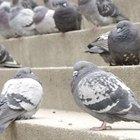 Homemade pigeon repellent
