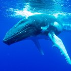 Por que as baleias não afundam?
