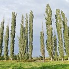 Poplar tree growth rate