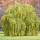 Is the willow tree an evergreen?