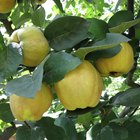 When is quince ready to pick?
