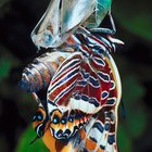 How to make a butterfly cocoon craft