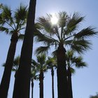 How to care for a Washingtonia palm tree